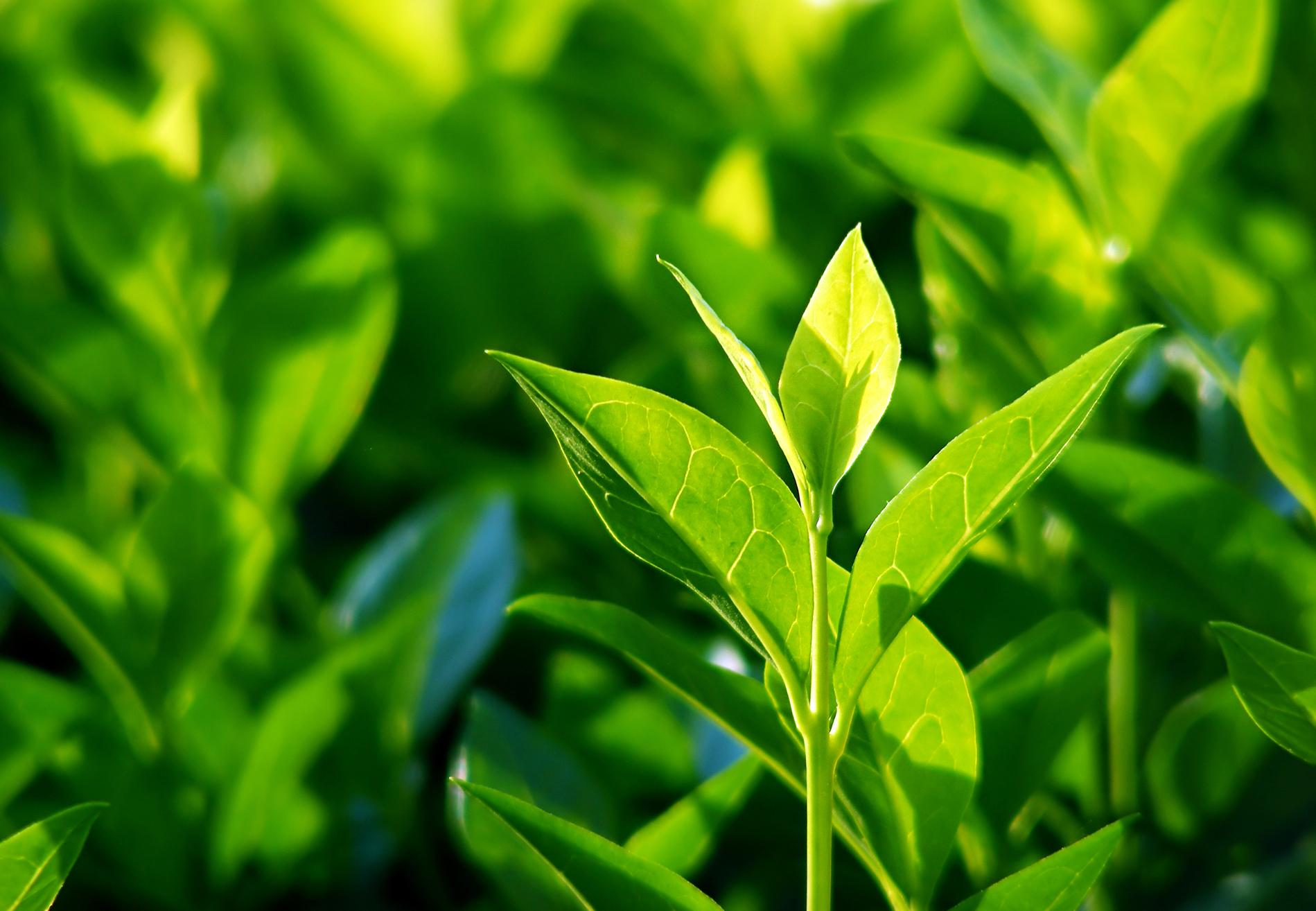 Le thé vert, l'ingrédient cosmétique so zen